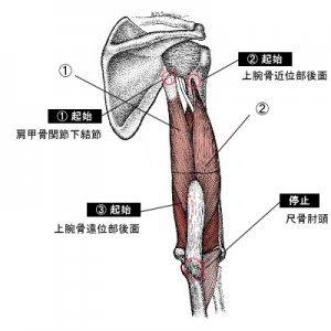 解剖学的上腕三頭筋